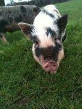 Phils pig